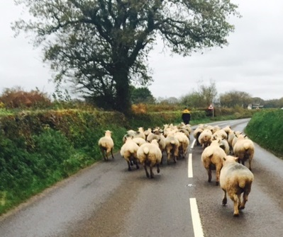 Walking the sheep home - West Middlewick
