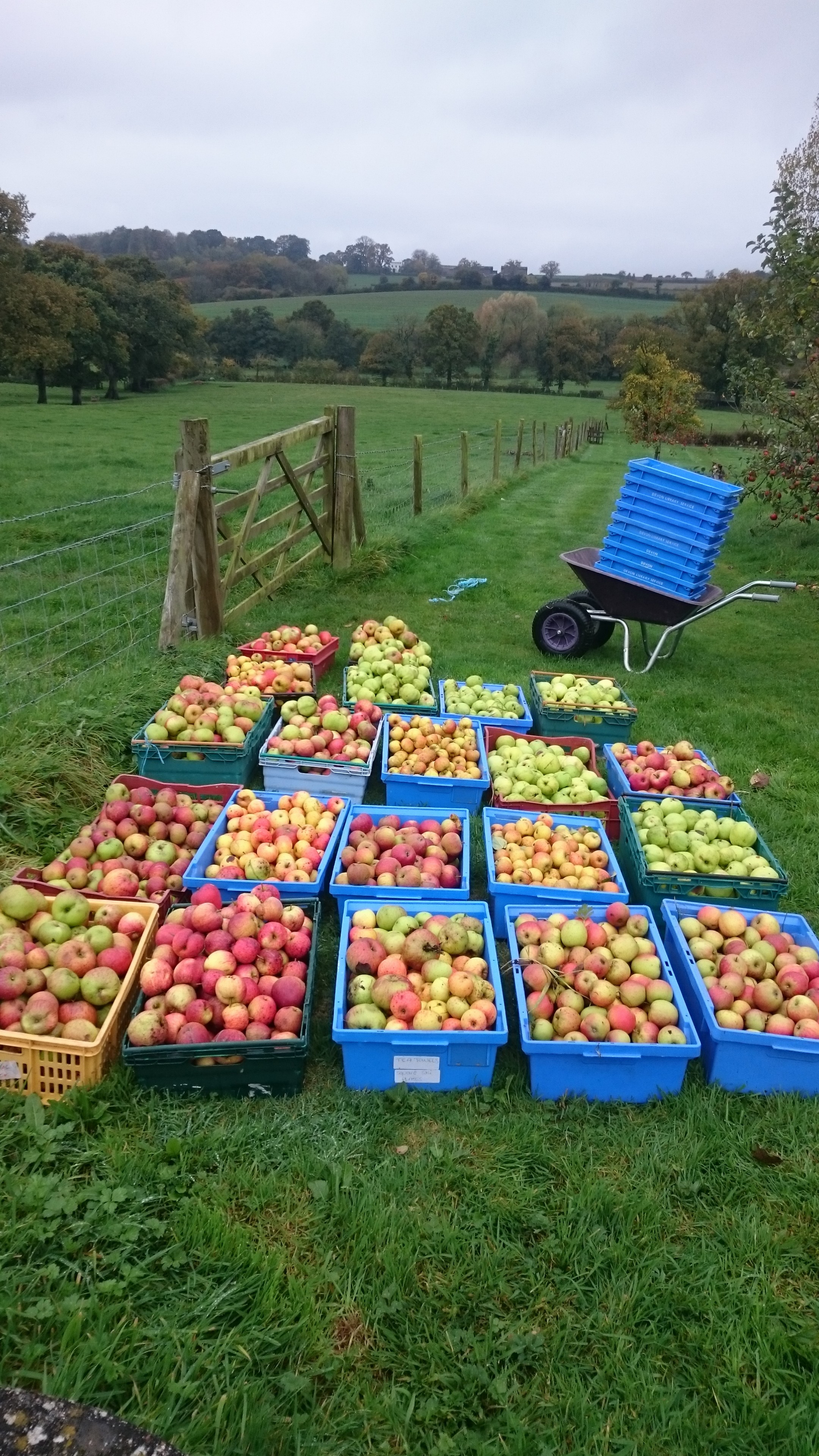 Yellingham apples