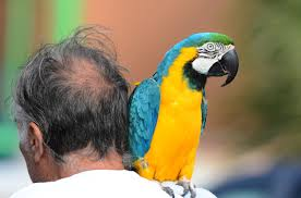 Parrot on shoulder