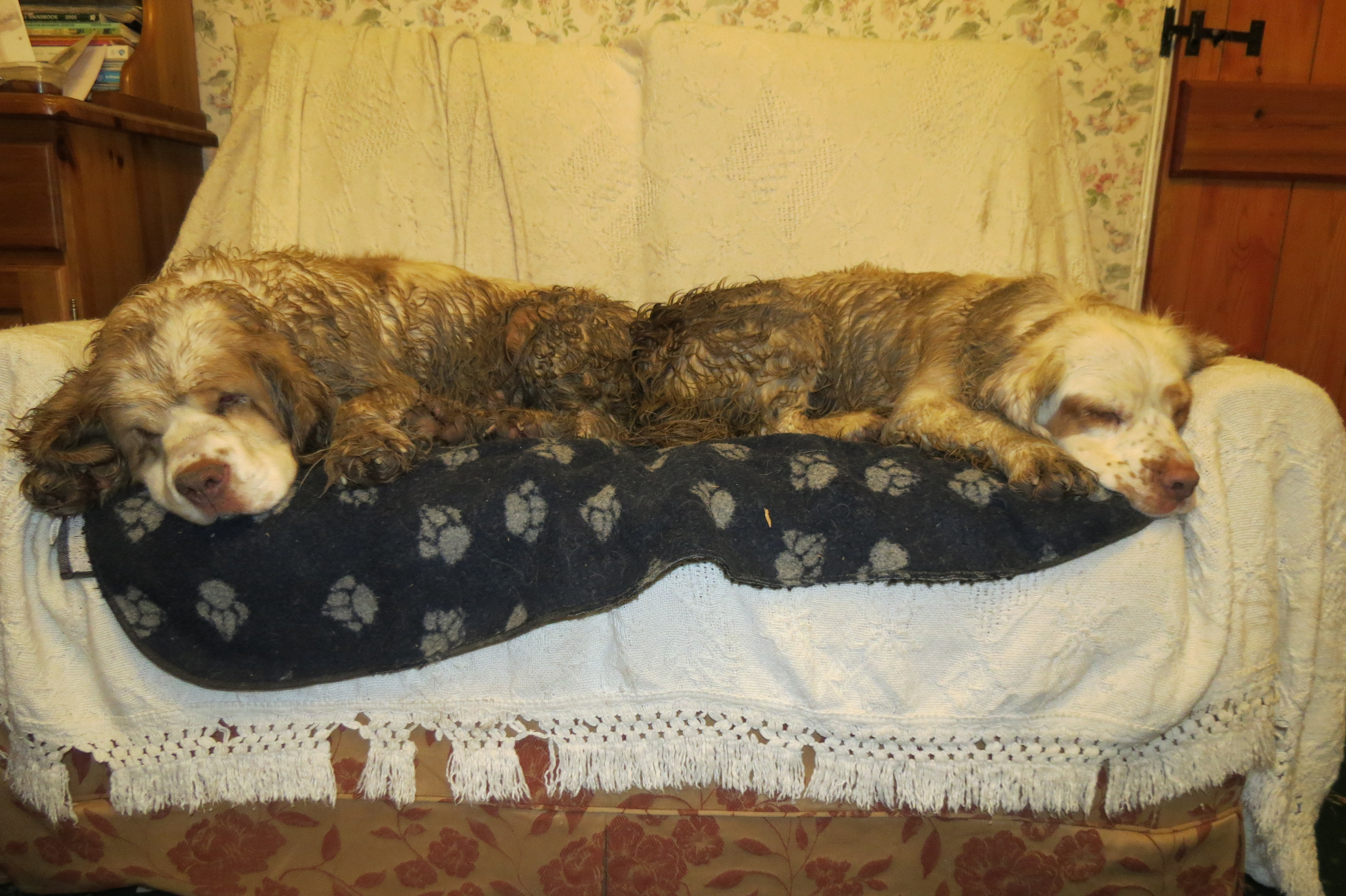 Two clumber spaniels