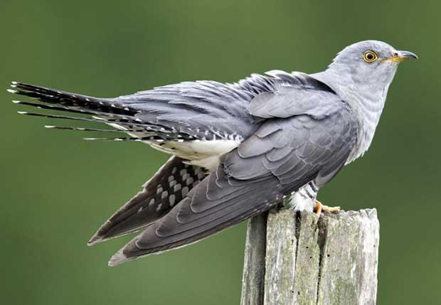 cuckoo (1)
