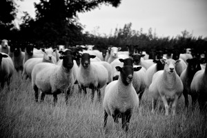 Ewes at Hele Payne