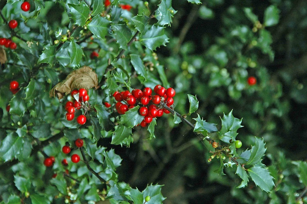 holly-shrub