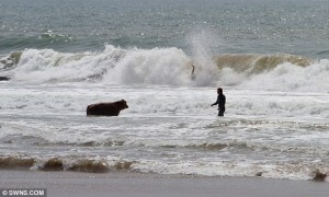 Cow surfing 4