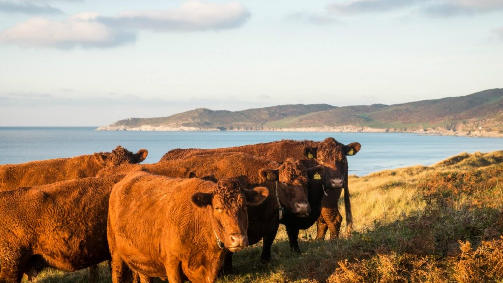 Cows on the dunes