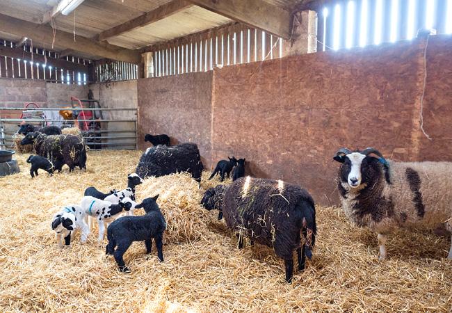 Yellingham-Lambing-Yard