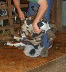 Shearing Jacobs