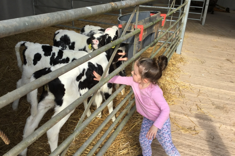 Child stroking baby calves