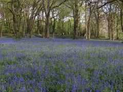 Bluebells at Blackberry Camp