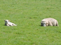 Just Chilling - Sheep at Spreacombe