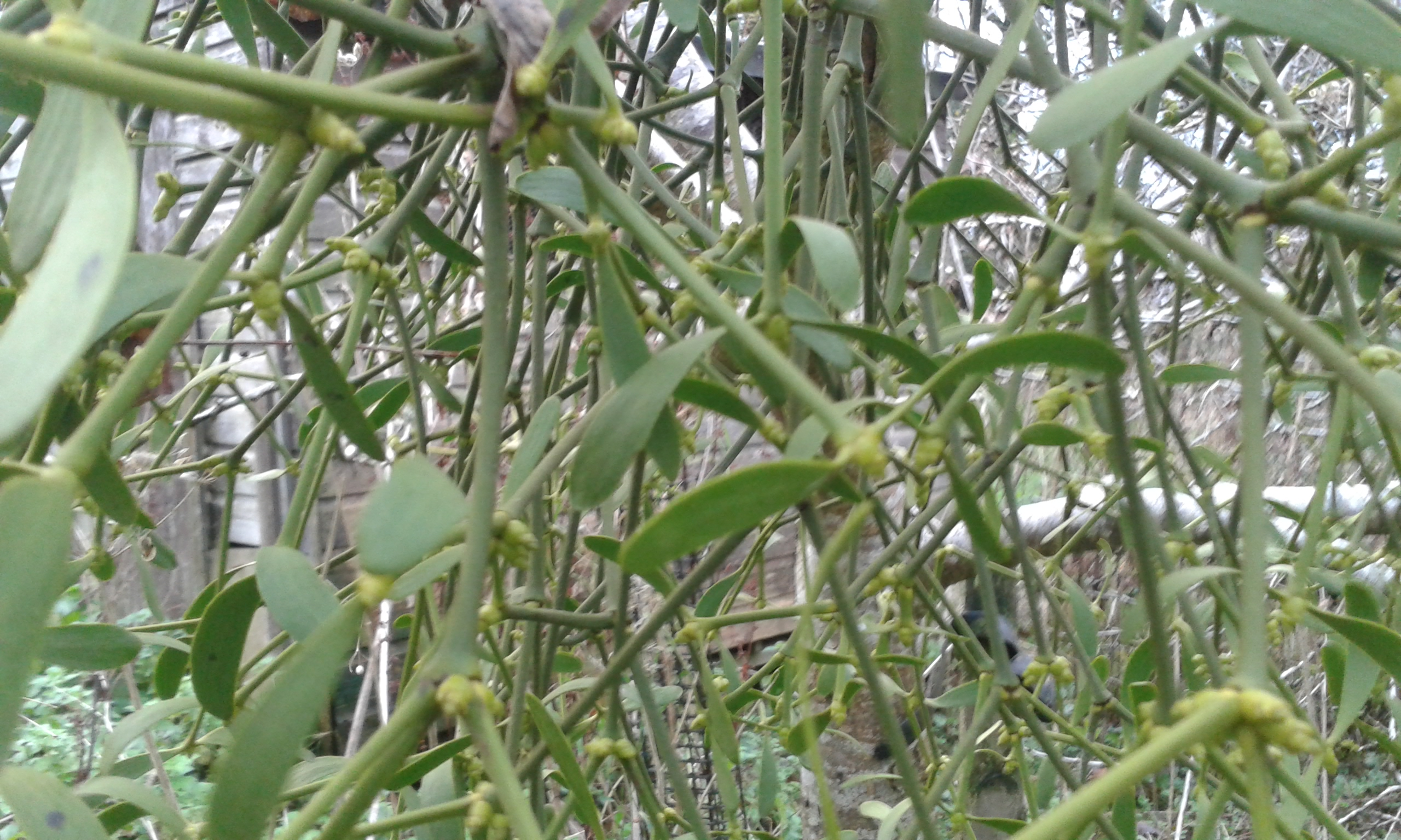 Mistletoe at Orchard Keepers Cottage
