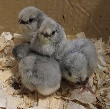 Lavender pekin chicks