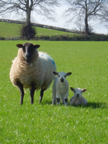 Ewe and lambs in field