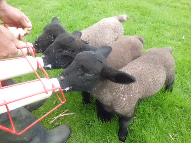 Lambs topping up