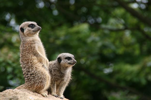 Crealy meerkats