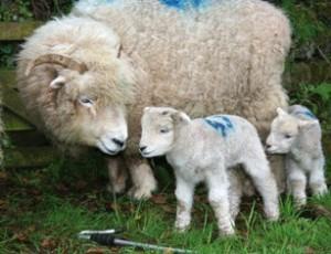 Exmoor Horn sheep