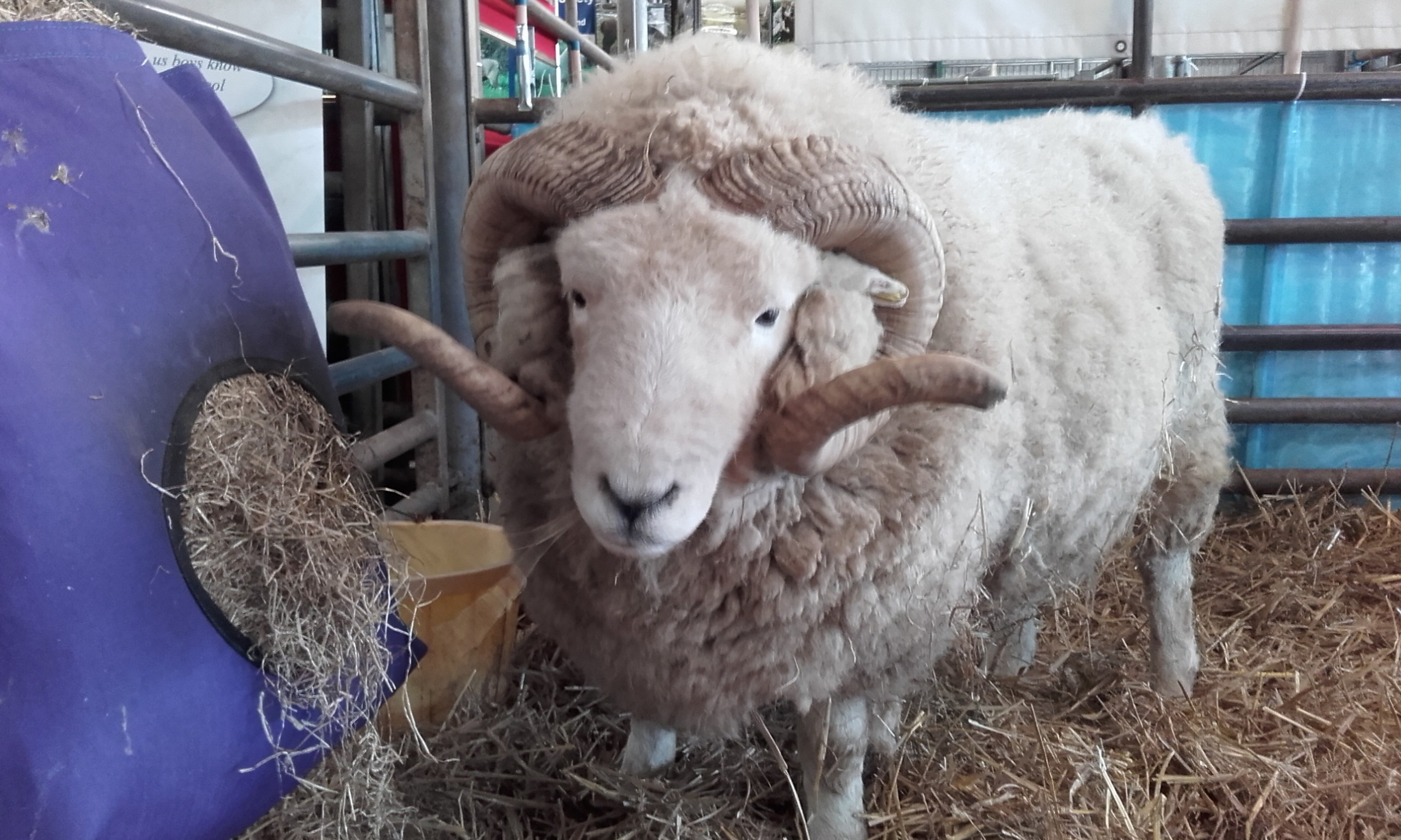 Terry the ram