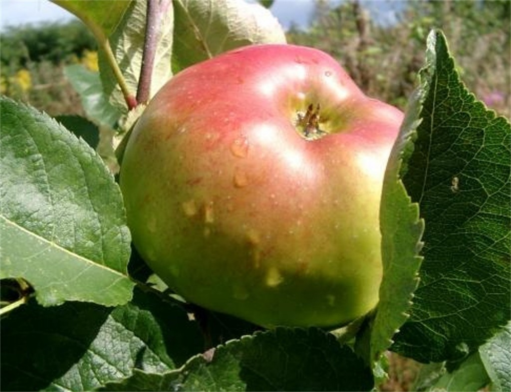 APPLE-Bramley-1024x786