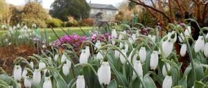 Snowdrops-at-The-Garden-House