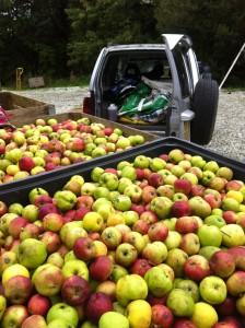 Apples - Fursdon
