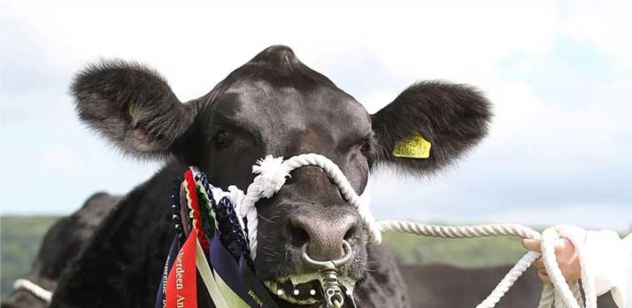 A prize winning cow at the Okehampton show in Devon